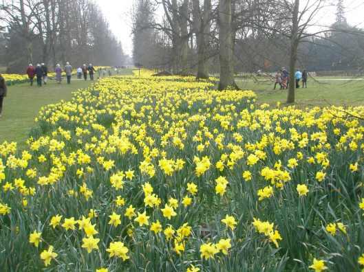 Daffodil walkway.jpg